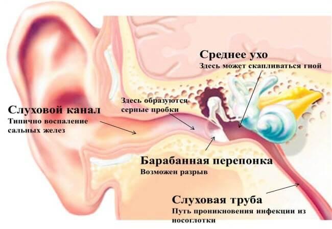 Будова вуха