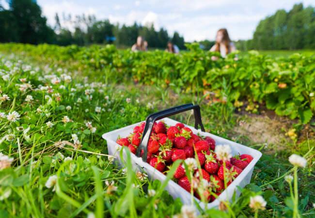 Слід уважно ставитися до місця вирощування полуниці