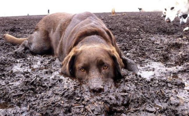 Собака яка купається в бруді