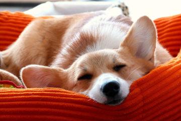 Спляча собака