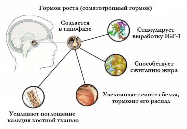 Соматотропін (гормон росту)