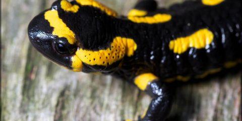 Саламандри