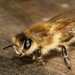 СНІД вилікують бджолиною отрутою
