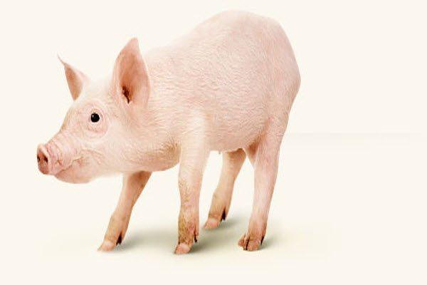 Шкода свинини