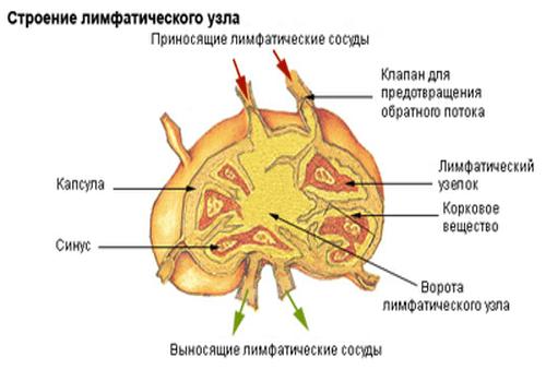 Лімфовузол