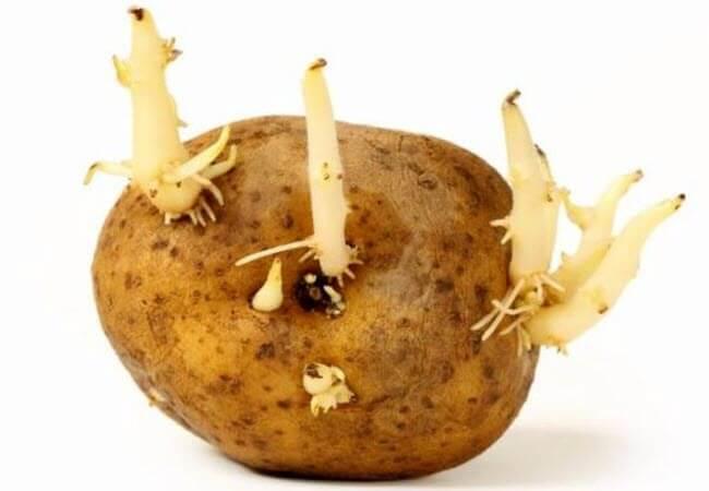 Проросла картопля